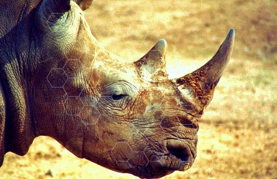 Rhinoceros 0007
