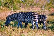 Zebra 0002