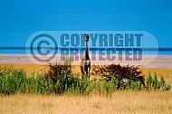 Giraffe 0011
