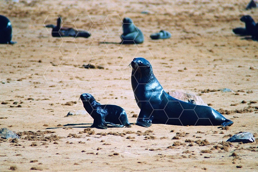Seal Fish 0012