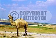 Camel 0019