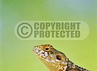Lizard 0017