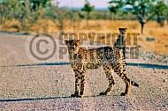 Cheetah 0020