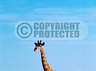 Giraffe 0036