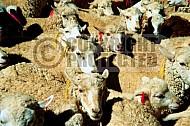 Sheep 0005