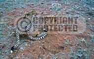 Cheetah 0014
