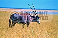 Oryx 0014