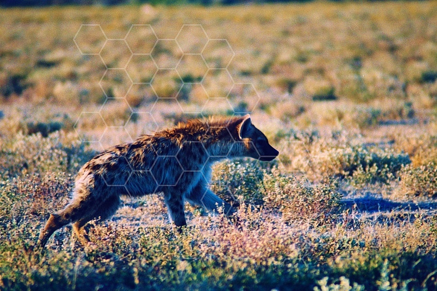 Spotted Hyena 0007
