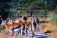 Springbok 0008
