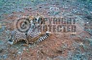 Cheetah 0013