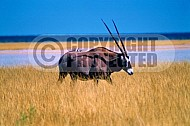 Oryx 0019