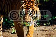Tiger 0005