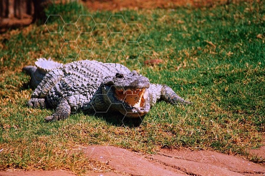 Crocodile 0007