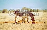 African Wild Ass 0001