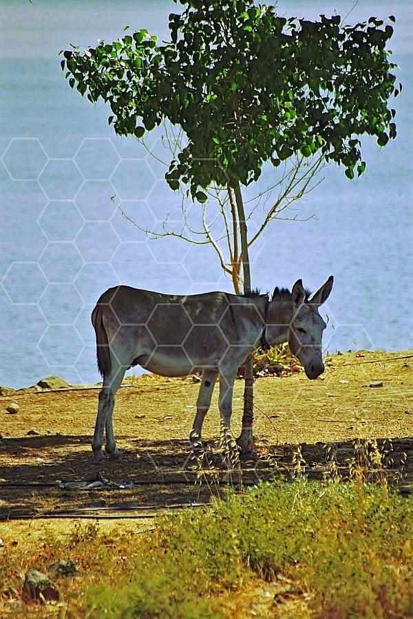 Donkey 0013