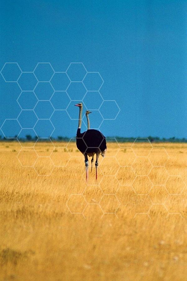 Ostrich 0010