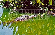 Alligator 0004