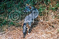 Fox 0001