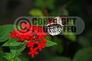 Butterfly 0006