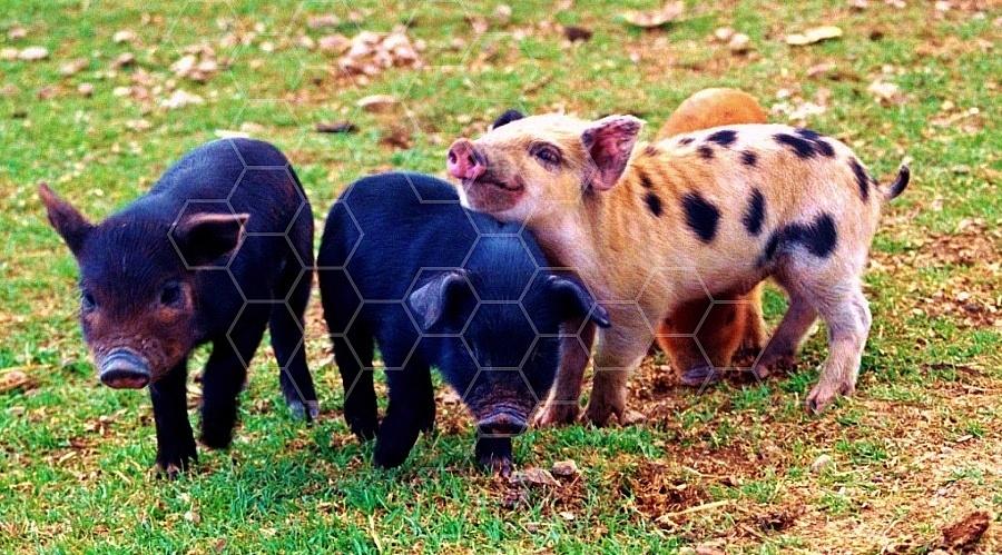 Pig 0004