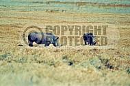 Rhinoceros 0005