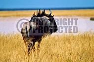 Wildebeest 0004