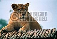 Lion 0003