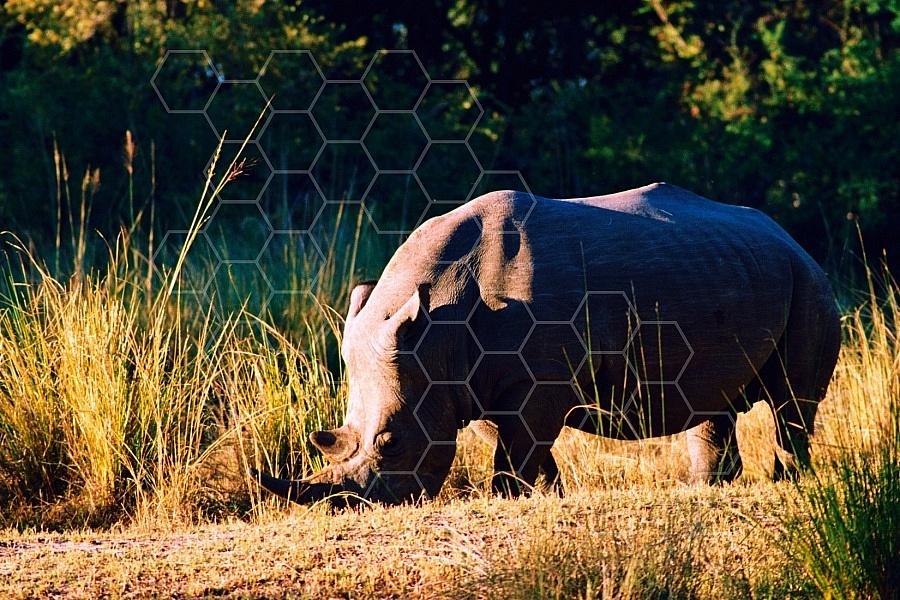 Rhinoceros 0006