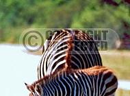 Zebra 0017