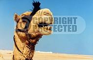 Camel 0004