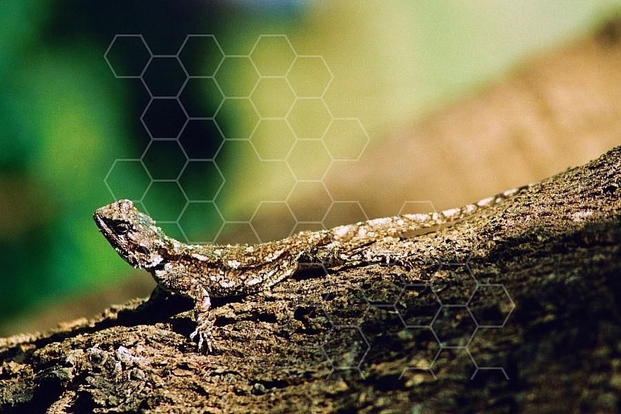Lizard 0003