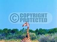 Giraffe 0023