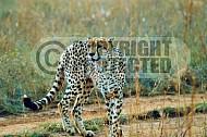 Cheetah 0001