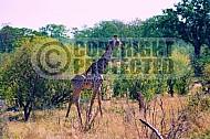 Giraffe 0016