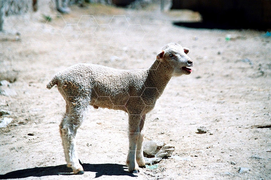 Lamb 0005