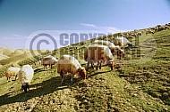 Sheep 0008