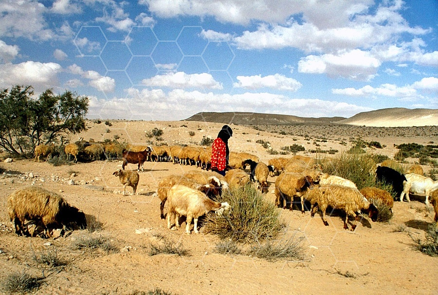 Sheep 0014