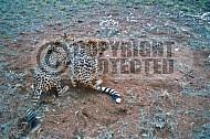 Cheetah 0012