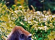 Gorilla 0009