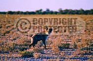 Spotted Hyena 0001