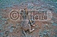 Cheetah 0005