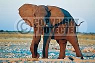Elephant 0043