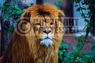 Lion 0023