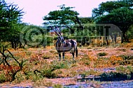 Oryx 0016