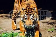 Tiger 0003
