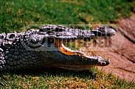 Crocodile 0003