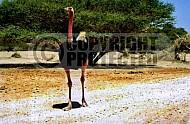 Ostrich 0003