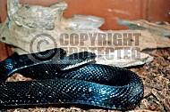 Viper Snake 0010