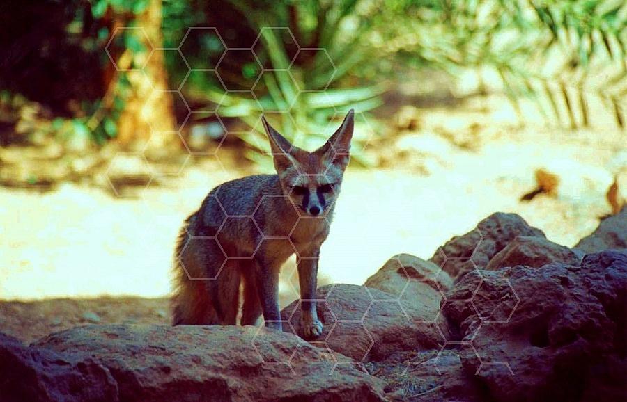 Fox 0004