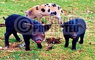 Pig 0002